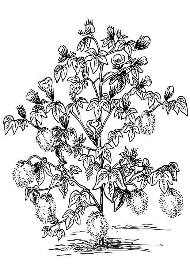 p u00e1gina para colorir planta de algod u00e3o